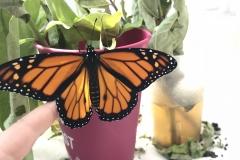 Monarch Butterflies at Brookside